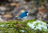 male siberian blue robin