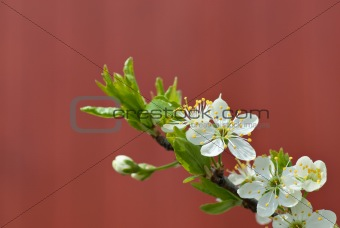 Cherry branch with spring flowers