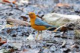 male orange headed thrush