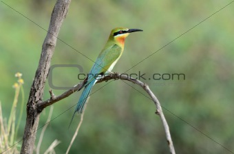 blue-tail bee-eater