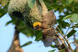 male baya weaver