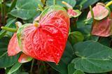 Flamingo flower or  Anthurium flower