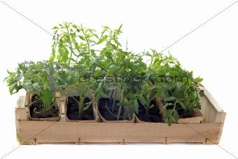 Tomatoes seedling