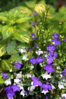 Blue and white lobelias in the garden