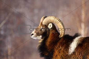 mouflon ram hunting