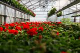 Geranium greenhouse