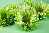 Chrysantemum flowers