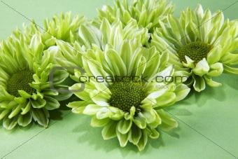 Chrysantemum flowers