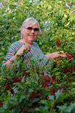 Elderly woman in bushes of a red currant