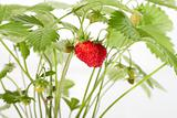 wild strawberry berries