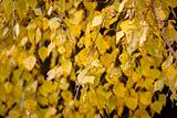 Autumn colors of birch leaves
