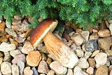 boletus founded in forest