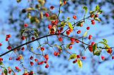 Fruitful euonymus branch on sky background