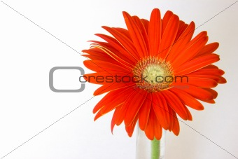 gerber orange flowers on a green stalk