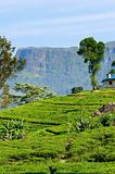 Green tea fields on highlands