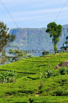 Green tea fields on highlands