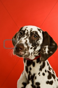dalmatian dog isolated on a red background