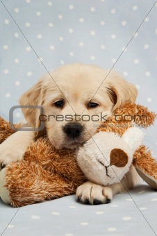 Golden Retriever puppy isolated on a blue background with a teddy bear