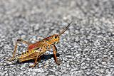 Grass hopper from the Everglades