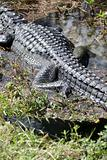 The back and tail of an alligator