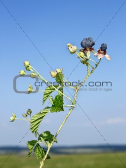 Blackberry berries against blue sky
