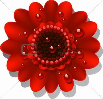 Beautiful red Gerber Daisy