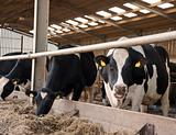 Cows in milking shed waiting for dairy farmer