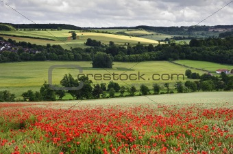 Poppy field in English countryside landscape