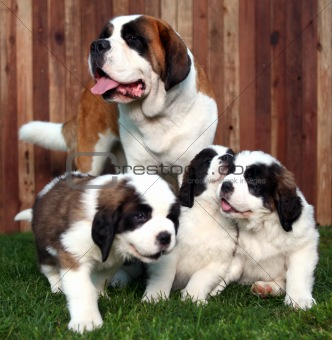 Adorable Saint Bernard Pups