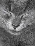 Gray British cat is sleeping