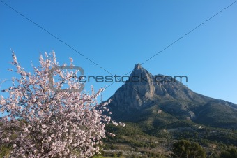 Almond tree against the Puigcampana