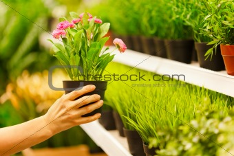 Closeup on hands taking pots of flowers from store shelf