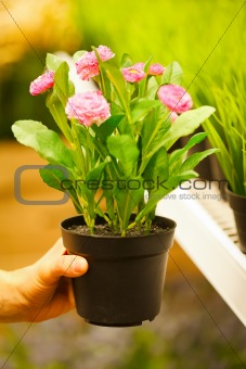 Closeup on hands holding pots of flowers