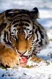 Siberian tiger eating