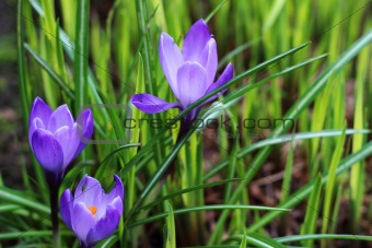 Three purple spring flowers amongst the greenery