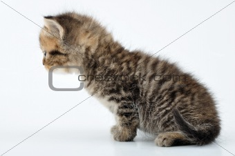 adorable small tabby  kitten