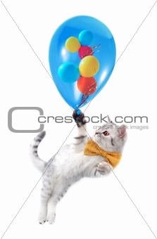 cute silver tabby Scottish cat with bow and  ballons