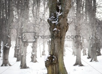Old lime tree in winter