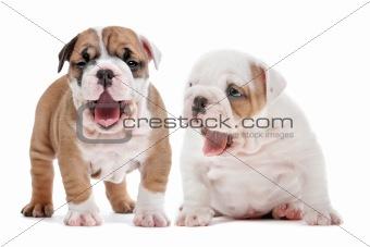 yawning puppies