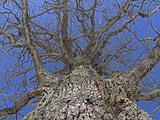 trunk of old oak tree naked branches in sky without leaf