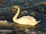swan on frozen lake, warm sunset light