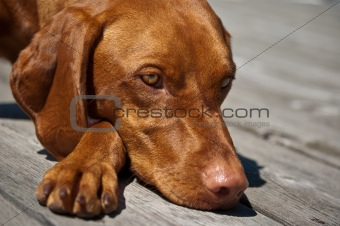 Vizsla Dog Closeup