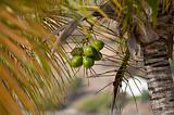 Green coconut fruit growing on a coconut palm