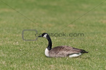 Canada Goose (Branta canadensis) sitting on the grass.