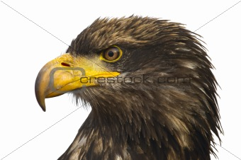 Portrait of the eastern eagle