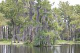 Cypress Trees