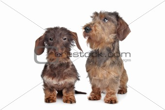 Two miniature Wire-haired dachshund dogs