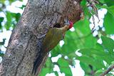 male laced woodpecker