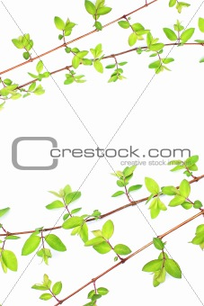 Green leaves branches on white