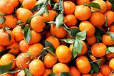 freshly picked tangerines